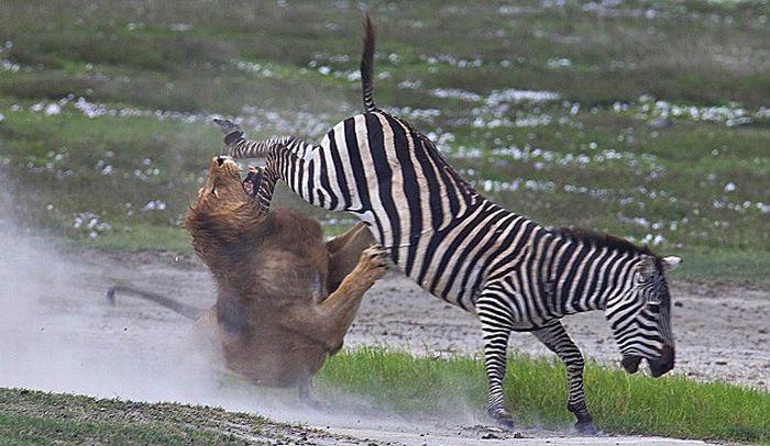 zebra_lion