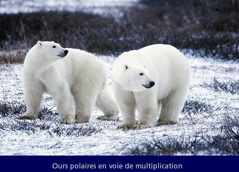 ours-polaires.jpg