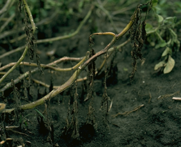 Phytophthora-infestans-on-potatoes